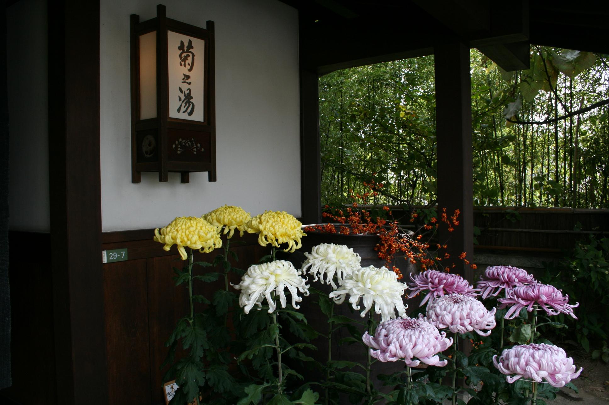 菊之湯の玄関 菊の花