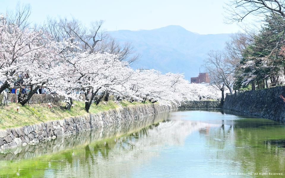 松本城のお堀の桜