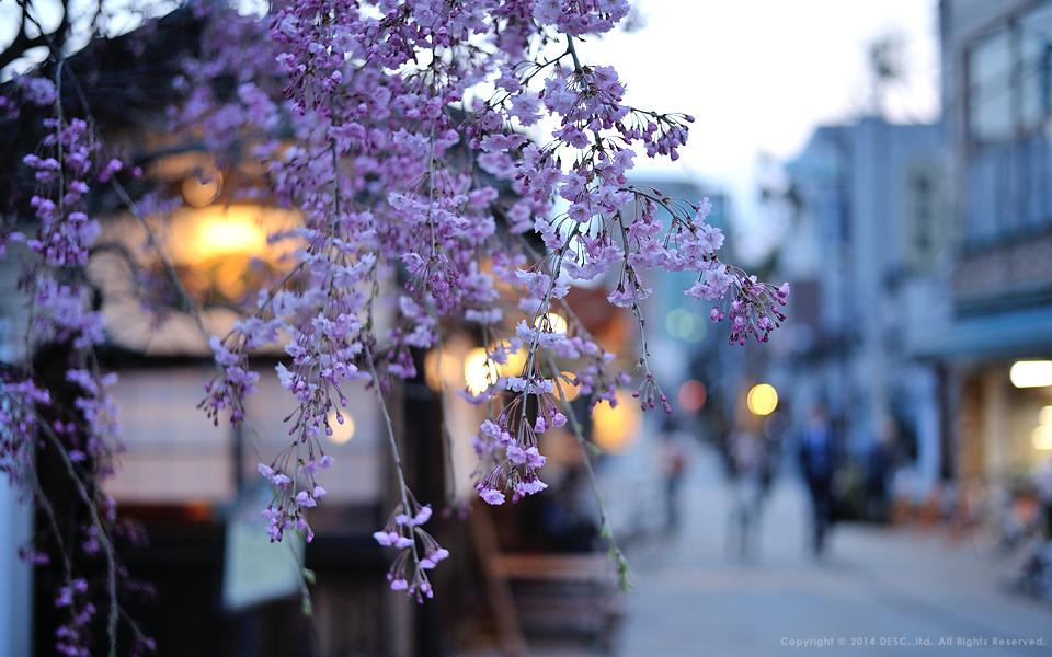 【縄手通り】夕暮れの桜
